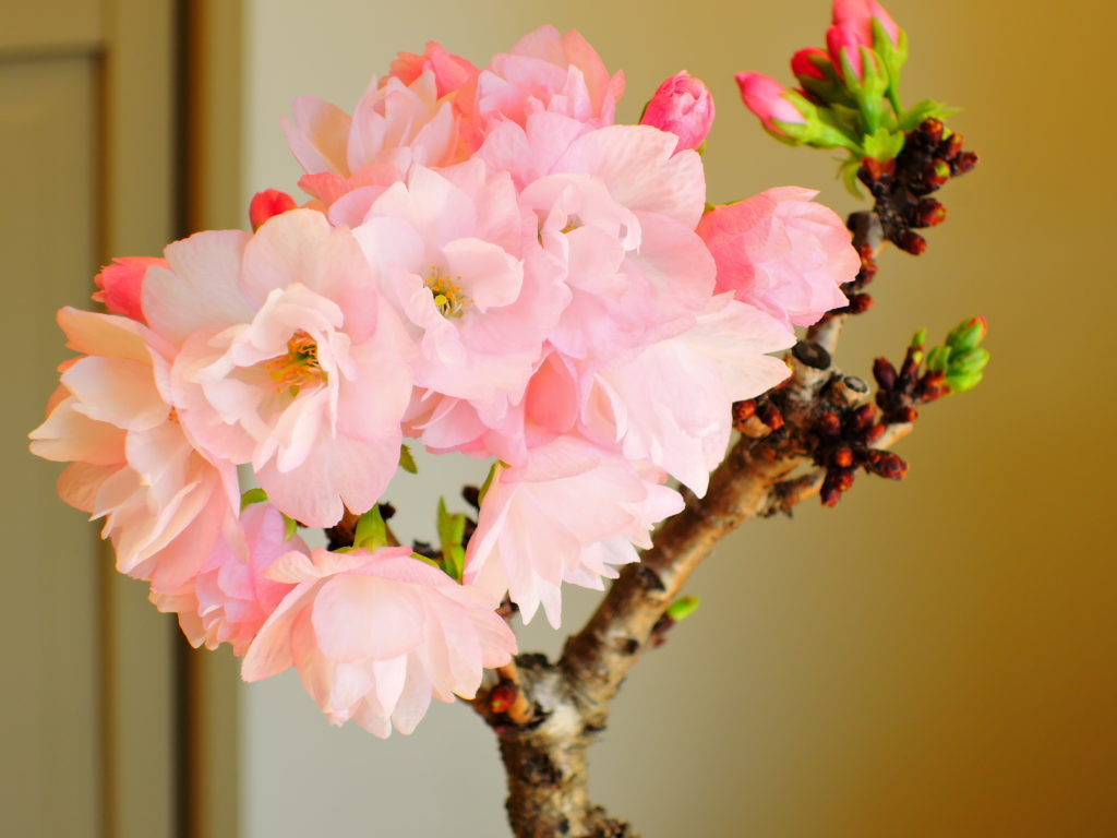 八重咲の旭山